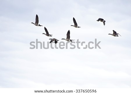 Flock of Canada geese in flight - stock photo