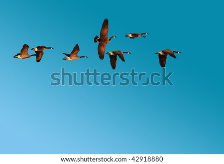Flock of Canadian Geese against clear blue sky along Mississippi Flyway - stock photo