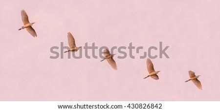 Flock of cattle egrets flying across the sky - stock photo
