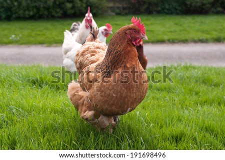 Flock of chickens wandering about free range
