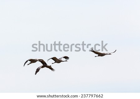 Flock of cranes flying in the sky - stock photo