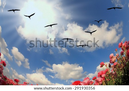 Flock of cranes flying over flowering field. Blooming red and yellow buttercups in spring - stock photo