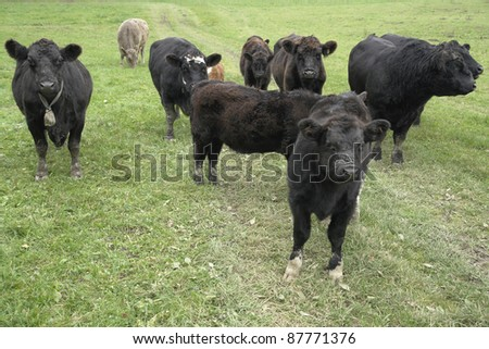 flock of dark cows on grassland at autumn time - stock photo