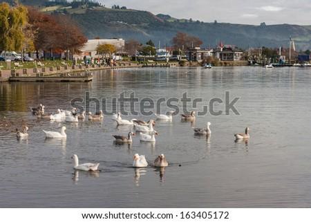 flock of domestic geese on lake Rotorua - stock photo