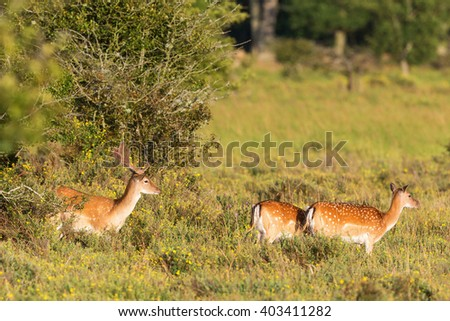 Flock of Fallow deer on a meadow - stock photo
