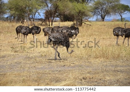 Flock of female ostrich - stock photo