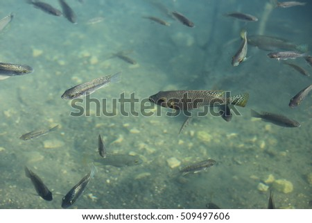 Flock of fish in the pond