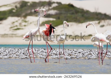 Flock of flamingos wading in the shallow lagoon water - stock photo