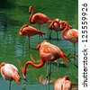 Flock of Florida Pink Flamingos along pond shore - stock photo