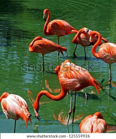 Flock of Florida Pink Flamingos along pond shore - stock photo