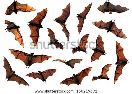 Flock of flying fox fruit bats composite image - stock photo