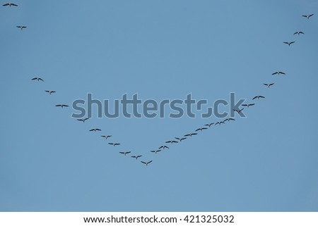 Flock of geese flying in formation - stock photo