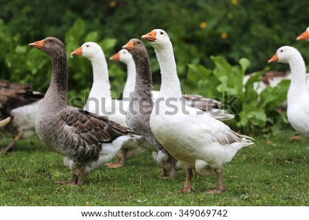 Flock of geese on fresh green grass - stock photo