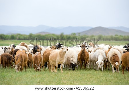 flock of goats and sheep grazing at green pasture