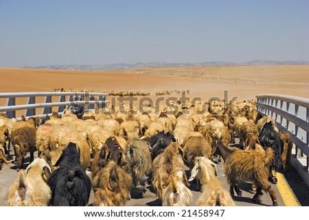 flock of goats crossing bridge - stock photo