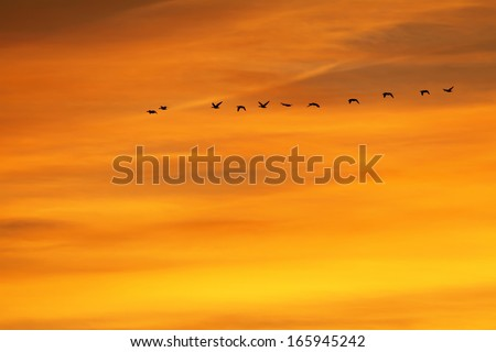 Flock of goose flying at sunset over Villafafila fields, Spain. - stock photo
