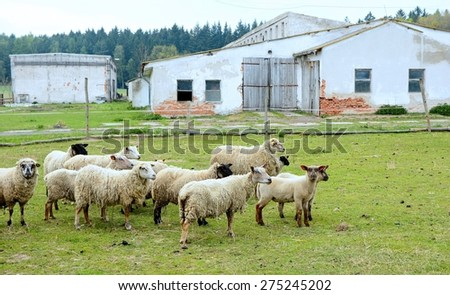 Flock of grazing sheep outside of the farm. - stock photo