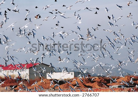 Flock of gull fly over garbage - stock photo