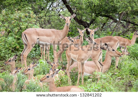 Flock of impala antelope. South Africa, Kruger's National Park. - stock photo