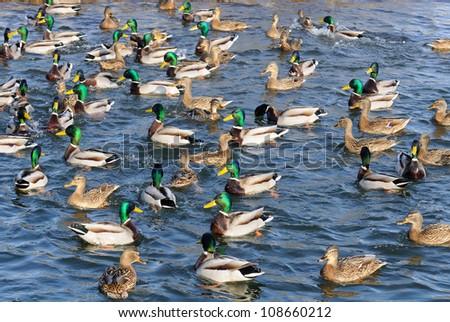 Flock of Mallard Ducks and Drakes Swimming in the Lake - stock photo