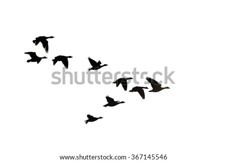Flock of migration bean geese flying in V-formation - stock photo