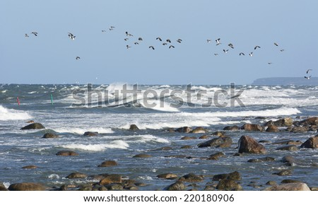 Flock of Northern lapwing flying over ocean - stock photo