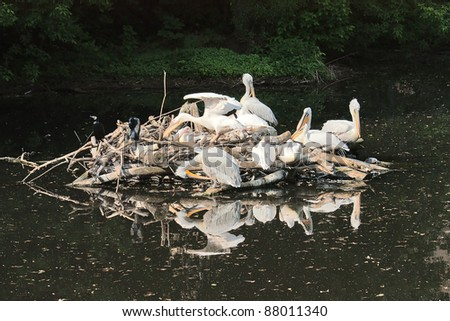 Flock of pelicans on island in middle of reservoir Zoo, Russia. - stock photo