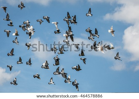 Flock of pigeons fly in the air