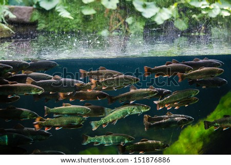 Flock of rainbow trout swimming in blue green water seen through aquarium window - stock photo