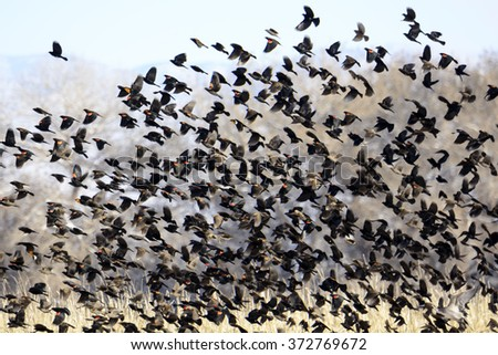 Flock of Red-winged Yellow-headed Blackbirds Flying. - stock photo