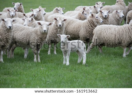 Flock of Sheep and Baby Lamb in a Green Meadow