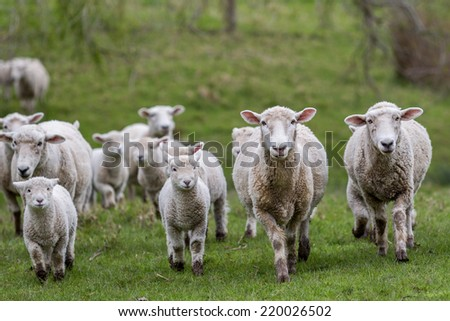 Flock of sheep and lambs - stock photo
