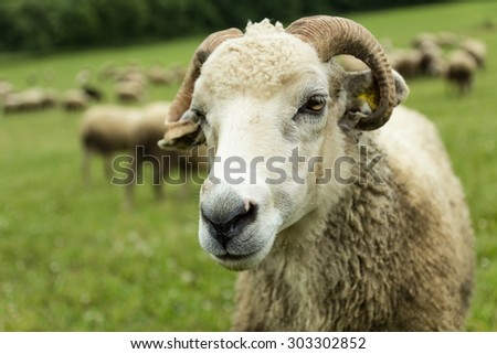 flock of sheep breeding in the green grass mountain meadow - one tup looking straight into camera - stock photo