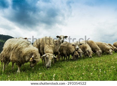flock of sheep breeding in the green grass mountain meadow-two sheeps looking straight into camera - stock photo