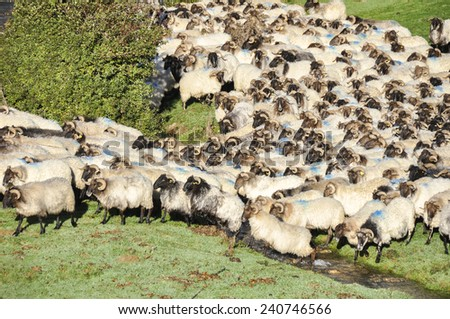 Flock of sheep crossing a river at Pyrenees, Navarre (Spain) - stock photo