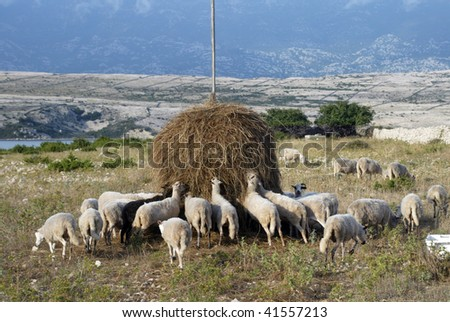 Flock of sheep eating grass on sunset - stock photo
