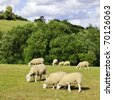 Flock of Sheep Grazing - stock photo