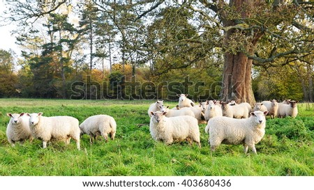 Flock of Sheep Grazing in a Beautiful Green Farmland Field - stock photo