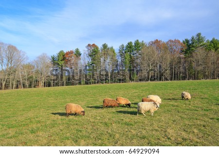 flock of sheep grazing in a green field on a new england farm
