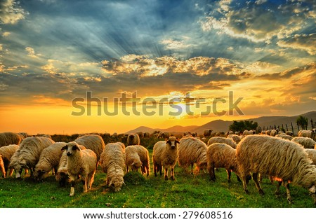Flock of sheep grazing in a hill at sunset. - stock photo