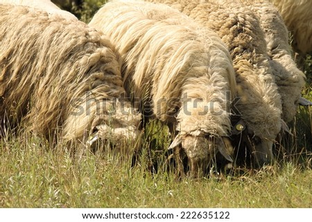 flock of sheep grazing on meadow near the farm - stock photo