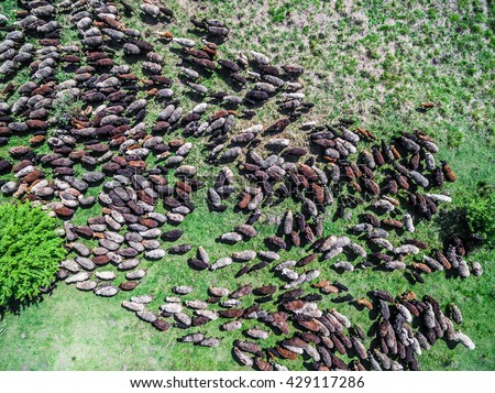 flock of sheep grazing on spring green field, top view - stock photo