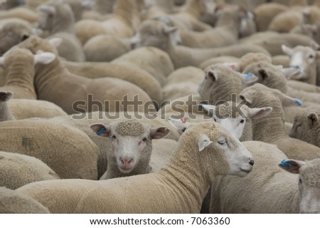 flock of sheep in a paddock - stock photo