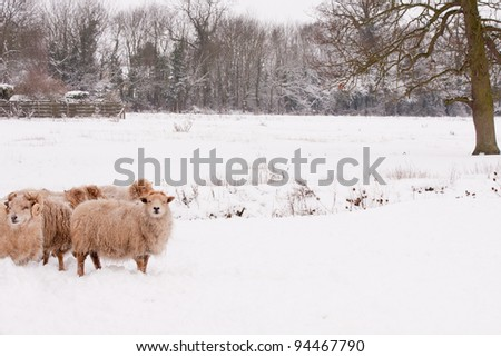 Flock of sheep in snow - stock photo