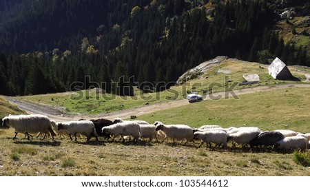 Flock of sheep in the mountains of Vranica. Herd of white and black sheep walking on a mountain and village of Vranica with that is central Bosnia's highest mountain at 2112 meter. - stock photo