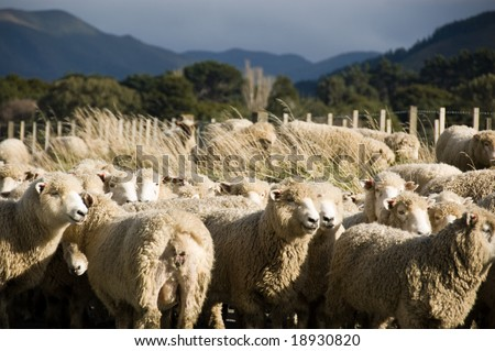 Flock of sheep in the Wairarapa, New Zealand - stock photo