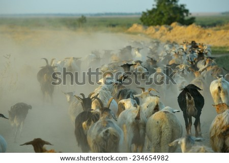 flock of sheep on dusty field in summer - stock photo