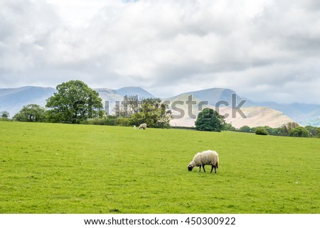 Flock of sheep on green field and mountain background under cloudy sky in countryside of England