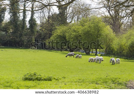 Flock of sheep on the green field
