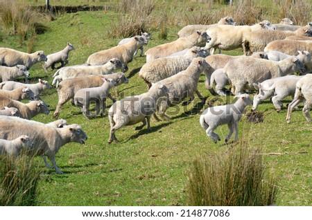 Flock of sheep runs away during herding in New Zealand. - stock photo